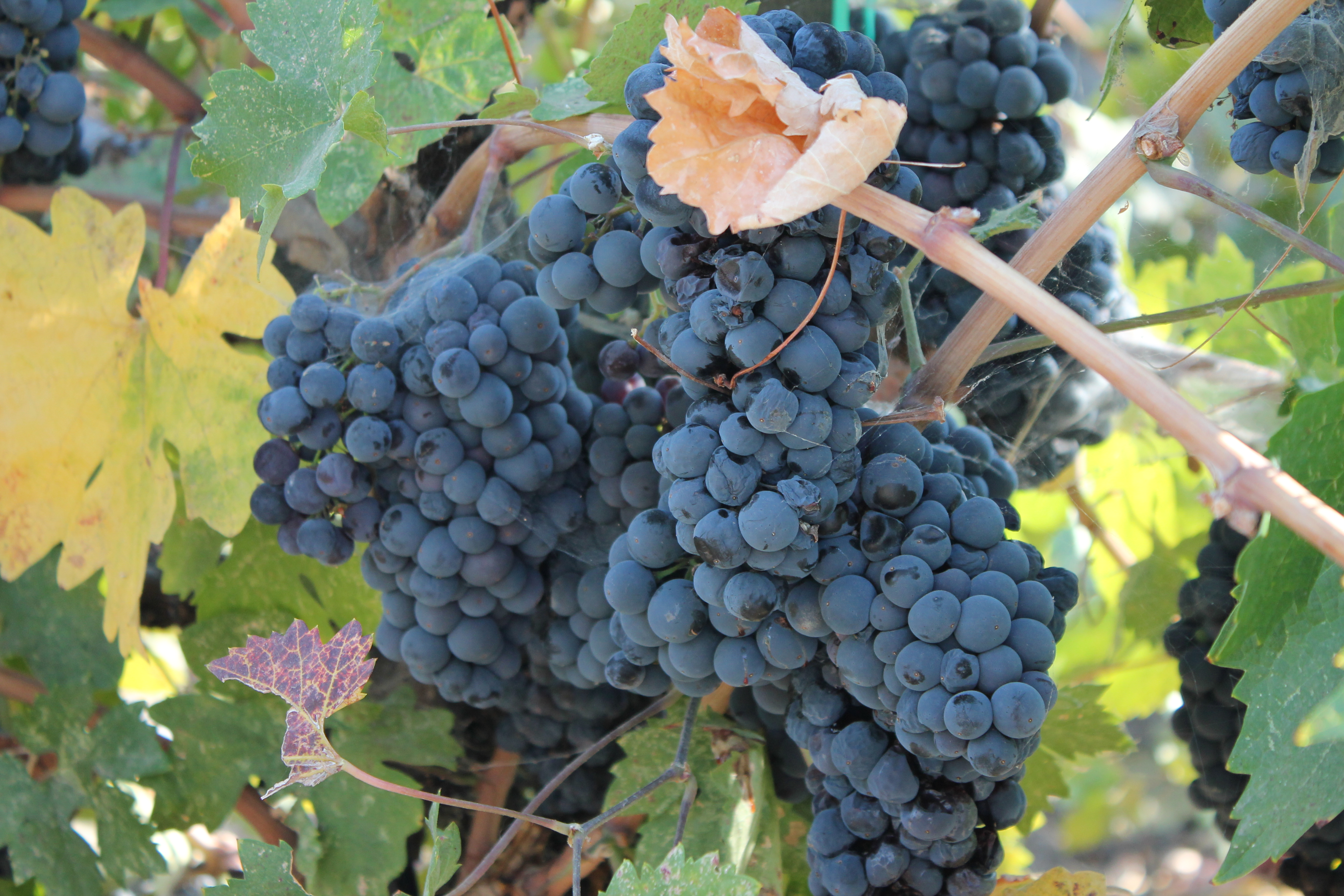 Zinfandel grapes ready to harvest at Charter Oak Winery in St. Helena, California. (Photo: Super G)
