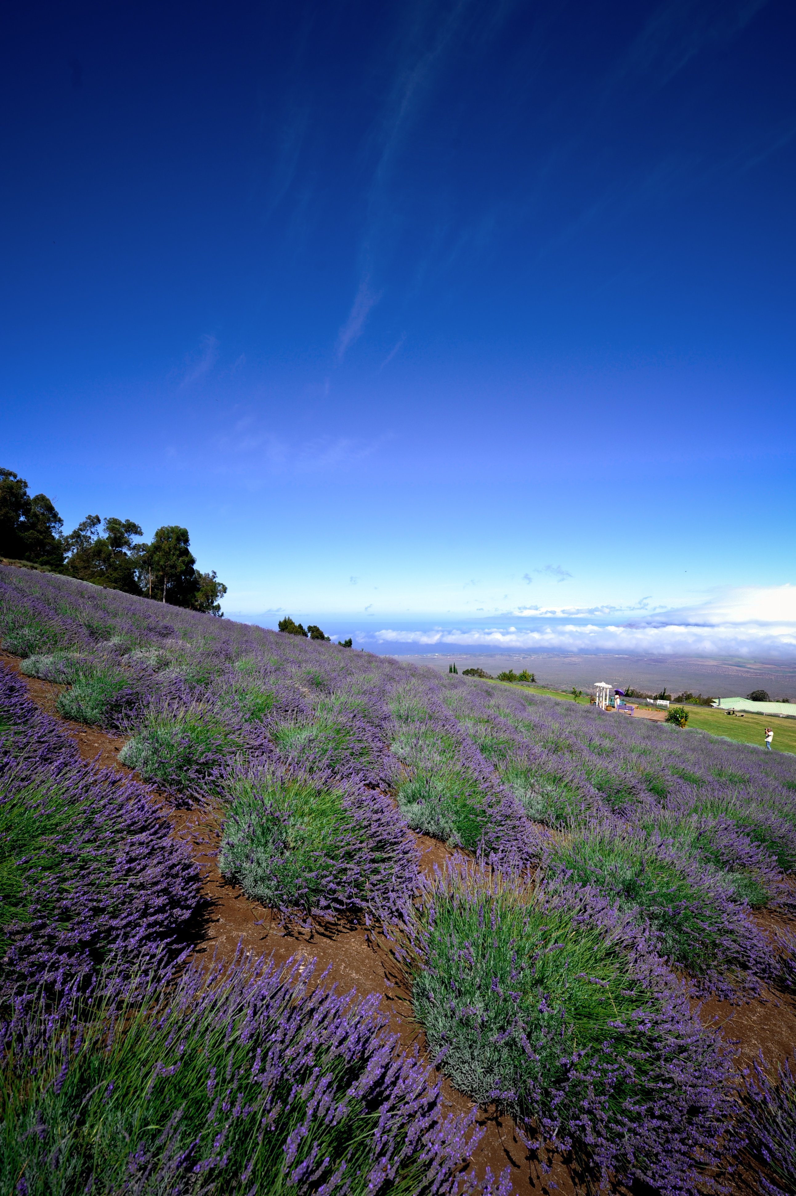 Fields of lavender overlooking the Pacific Ocean at Ali'i Kula Lavender Farm in Maui, Hawaii. (Photo: Courtesy of Ali'i Kula Lavender Farm)