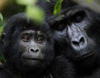 Gorillas in Rwanda on a Wild Rainbow African Safari. (Photo: Wild Rainbow African Safari)