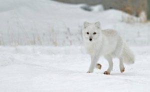 An arctic fox (Alopex lagopus) runs down a snowy street in Churchill, Manitoba, Canada (Photo: Dawn Wilson Photography)