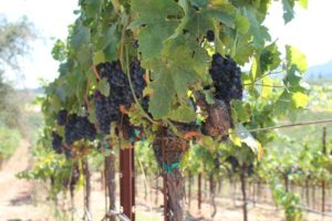 The vines at Mazzocco Winery in Sonoma County, California. (Photo: Super G)