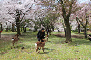 Travelers can pet the deer under the cherry blossoms in Nara Park or explore the many shrines and temples in Nara, Japan. (Photo: Courtesy of GreenandTurquoise.com)