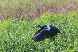 A little blue heron flies over St. Johns River in Blue Spring State Park, Florida. (Photo: Nicole Clausing0