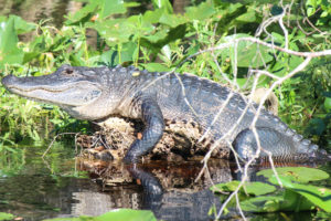 A 10-foot alligator lounged motionless on the bank of St. Johns River in Blue Spring State Park, Florida, before a snapping, explosive leap, it jumped into the water and disappeared, 600 pounds of lizard gone in the blink of an eye. (Photo: Nicole Clausing)